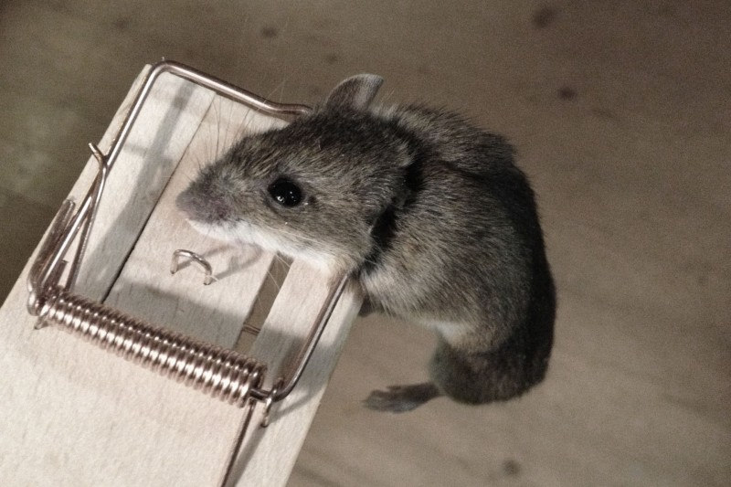 Das ist er also, der erste Eindringling innert 12 Jahren. Dingfest. Aus die Maus.
